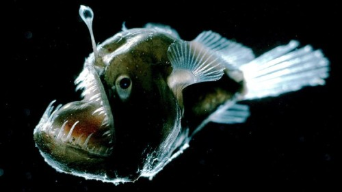 Angler Fish Photo: Edith Widder