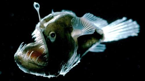 Angler Fish Photo: Edith Widder