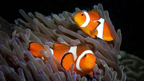 Anemone purple anemonefish CC BY-SA 3.0 Photo: Nick Hobgood Purple anemone (Heteractis magnifica) and resident anemonefish (Amphiprion ocellaris) (clownfish) in East Timor. http://en.wikipedia.org/wiki/Ocellaris_clownfish#mediaviewer/File:Anemone_purple_anemonefish.jpg