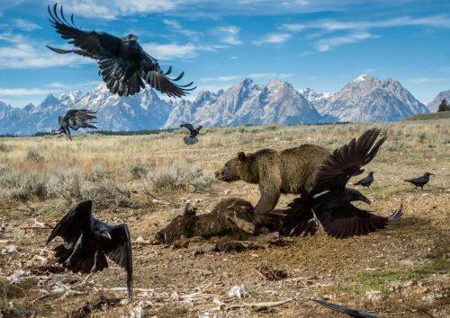 teton-grizzly-feeding-adapt-1900-1
